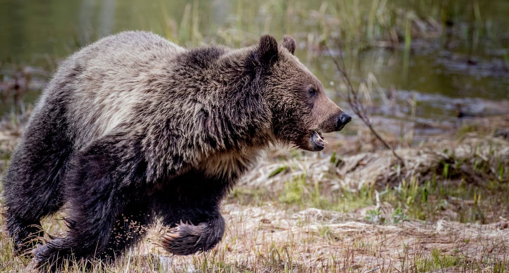 Woman charged by grizzly in Yellowstone could face year in prison for staying too close to bear and cubs