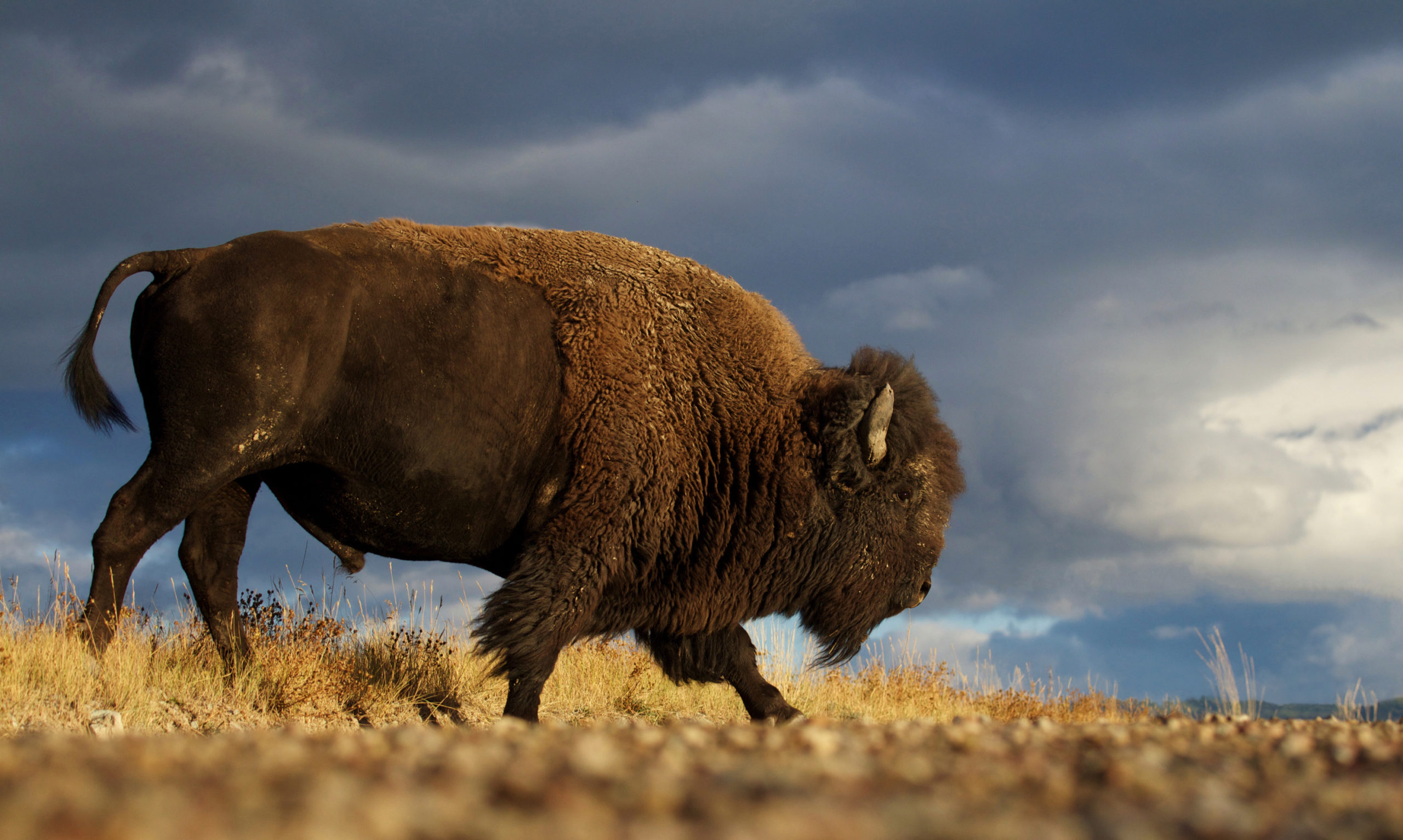 50 bison to be released on the Wind River Reservation Saturday