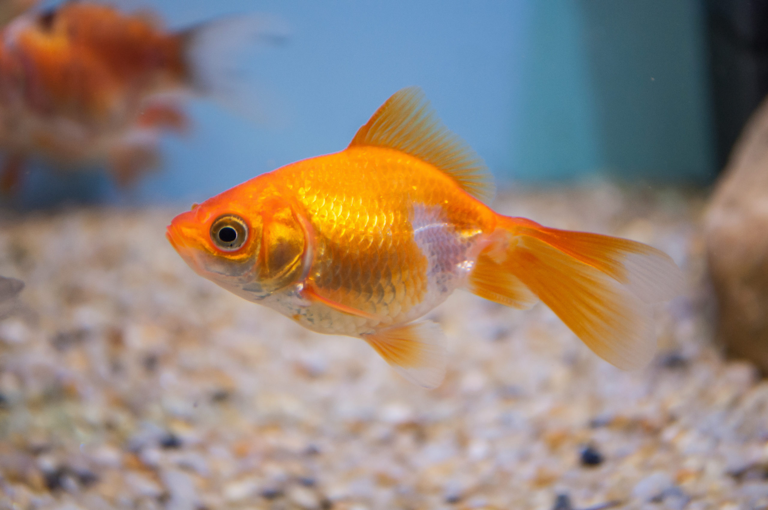 Illegally introduced goldfish discovered in multiple Rock Springs–area  ponds - Casper, WY Oil City News